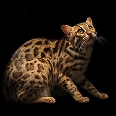 Small Wild Cats, Big Cats, Cats And Kittens, Cute Cats, Asian Leopard Cat, Exotic Cats, Catus, Wonderful Picture, Cat Boarding