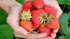 Pokud nejste spokojeni s těmi, které se nabízejí v obchodech, tak si můžete své jahody vypěstovat. Není to až tak nic složitého. Pokud navíc toužíte po tom, aby plody byly velké, sladké, chutné a aby jich bylo opravdu hodně, je dobré dát na triky zkušených zahrádkářů. A co říkají? Budete se divit, ale doporučují používat […] Strawberry Patch, Strawberry Plants, Strawberry Recipes, Strawberry Varieties, Strawberry Bread, Organic Gardening, Gardening Tips, Organic Plants, Growing Strawberries In Containers