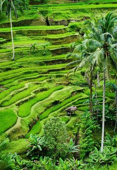 Globetrotter's Wanderlust: Rice Fields in Tegallalang, Bali, Indonesia