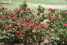 https://flic.kr/p/TE7Ad3 | 2017 April 15, Roses seen on Church Walking Tour Decatur Nikon D7200 | 2017 April 15, Church Walking Tour Decatur Nikon D7200