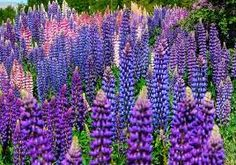 I want to be the lupine lady of Caseville! perfect for a cottage garden