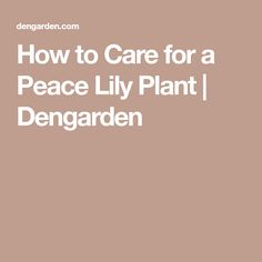 How to Care for a Peace Lily Plant | Dengarden