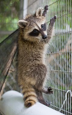 Image result for raccoon eating