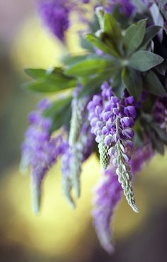 Lupinus by Mycatherina on 500px