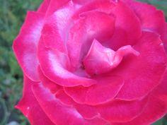 Роза ЧГ Парадиз Paradise, Небо в огне Burning Sky или Страсть Passion.  Когда бутон только появляется на стебле, он имеет ровную серебристую окраску (с оттенком лаванды), а края раскрывающихся лепестков имеют слегка красную кайму. Но по мере распускания кайма по краям лепестков становится более широкой и меняет цвет на насыщенный малиновый. И только середина цветка не изменяет своей лавандовой расцветки.