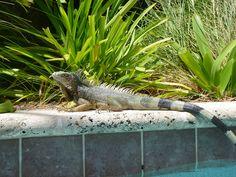 Iguana at Mariott poll by aneta.hall, via Flickr