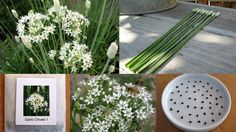 Garlic Chives Are Easy To Grow And Bees Love Them