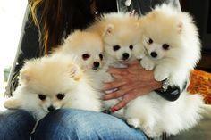 My 4 white/cream puppies! Stagecoach Pomeranians #pomeranian