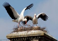 Making history: The four-year-old storks have built their nest on a chimney near Great Yarmouth in Norfolk