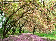 Spring Cherry Blossoms | Central Park Spring Cherry Blossoms - Fine Art Print + Stock Image ...