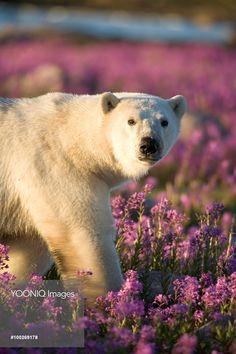 Polar Bear (Ursus maritimus) male in field of fireweed, Hudson Bay, Canada Bay Canada, Hudson Bay, Polar Bear, Wildlife, Stock Photos, Illustration, Animals, Image, Flower