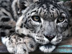 """BBC News. The conservation status of the elusive snow leopard is downgraded from """"endangered"""" to """"vulnerable"""". Snow Leopard Facts, Baby Snow Leopard, Amur Leopard, Leopard Face, World Wildlife Foundation, Leopard Pictures, San Francisco Zoo, Bronx Zoo, Funny Animal Photos"""