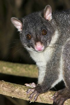 Short-eared Brushtail Possum , Australia