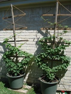 growing hops - Google Search    Grow Jacob's hops diagonal like this on the side of the house?