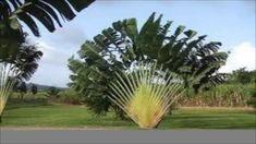 Palmeira (Ravenala madagascariensis)  Árvore-do-Viajante