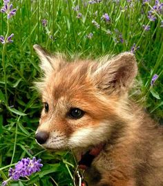 The fox - one of the most amazing animals there is! Submit pictures, questions, or anything related to foxes. Cute Creatures, Beautiful Creatures, Animals Beautiful, Cute Funny Animals, Cute Baby Animals, Animals And Pets, Fuchs Baby, Fuchs Illustration, Fox Pictures