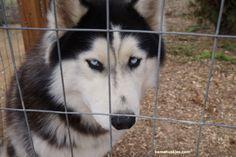 http://bamahuskies.us/wp-content/uploads/2014/02/black-and-white-husky-in-Alabama.jpg