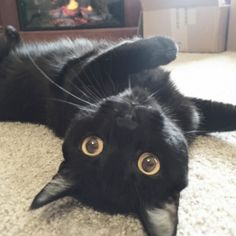 Happy #NationalBlackCatDay!  Did you know black cats and dogs are the least likely to be adopted and most likely to be euthanized? Next time you're adopting at your local shelter don't write off these jet black beauties! What they lack in color they make up for in personality