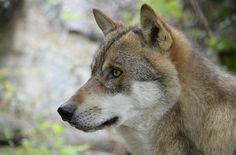 Auch in menschlich dominierten Landschaften spielen große Fleischfresser wie Braunbären oder Wölfe – sogenannte Spitzenprädatoren – eine entscheidende Rolle bei der Regulierung von Wildtierbestände…