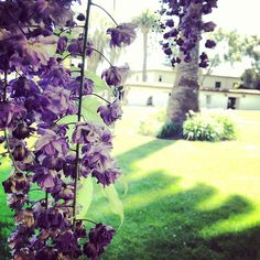 We love the wisteria on campus! Such beautiful flowers.