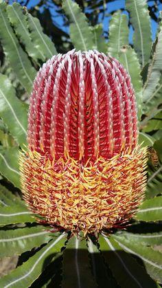 Banksia menziesii