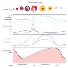 menstrual cycle worksheets google search 4th quarter. Black Bedroom Furniture Sets. Home Design Ideas