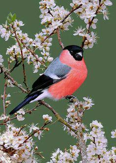Bullfinch male in blackthorn blossoms (pyrrhula pyrrhulamale) - bouvreuil Pretty Birds, Love Birds, Beautiful Birds, Animals Beautiful, Small Birds, Colorful Birds, Little Birds, Bullfinch, Kinds Of Birds