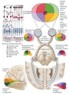 Retinogeniculostriate Visual Pathway