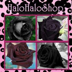 goth flower; 150 SEEDS Black Rose Garden Roses RARE Double Perennial Flower Bulk B3008