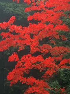 Red Foliage in Acadia National Park, Maine, USA