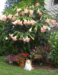 Pink Angel Trumpets and Impatiens