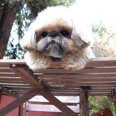 Don't jump lil Shih Tzu...Don't jump! #ShihTzu