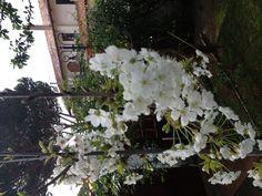 Ciliegio in fiore...,