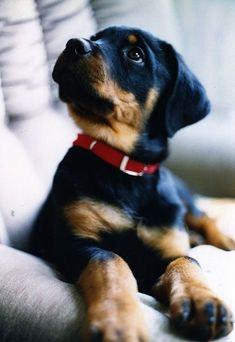 Cute lil' Rottweiler! http://pinterest.com/jaykaslo/must-love-dogs