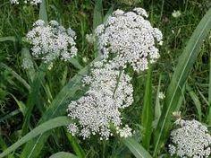 Risultati immagini per fiori di campo bianchi
