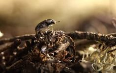 Flesh-eating beetles
