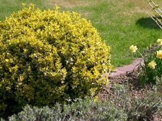 Euonymus Emerald n' Gold Tall Wide Evergreen No Blooms but turns pinkish red in Winter Plant in Full Sun (ideally) or Shade i. Small Evergreen Shrubs, Height Growth, Fence Plants, Winter Plants, Gold Rate, Rain Garden, How To Grow Taller, Types Of Soil, Back Gardens