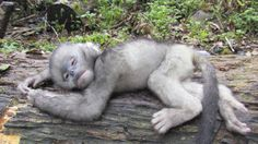 In this April 22, 2011 photo released by Fauna & Flora International Tuesday, April 1, 2014 for editorial use, an infant snub-nosed monkey.