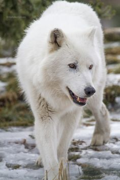 radivs: 'Arctic Wolf' by HollyBerry255