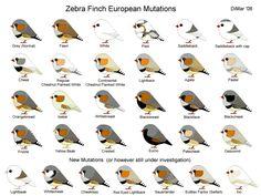 Criação de Mandarins: Tipos e cores de aves