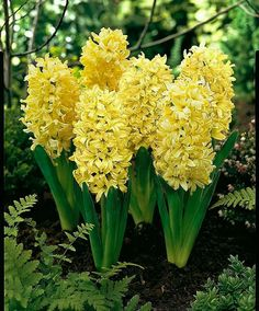Hyacinth is the common name for about 30 perennial flowering plants zdjcie mightylinksfo