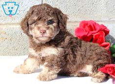 This stunning Toy Poodle puppy will truly be man's best friend! He has an awesome temperament and playful personality. This puppy is social and is Toy Puppies For Sale, Toy Poodles For Sale, Boxer Mix Puppies, Cute Baby Puppies, Poodle Puppies For Sale, Phantom Poodle, Smartest Dogs, Puppy Stages, Dog Grooming Business