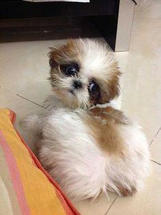 English Bulldog shih tzu Ideal Pets Pinterest Shih