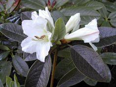 R. maddenii ssp. crassum