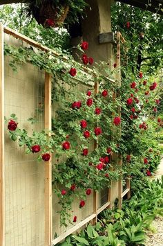 How to make a custom rose trellis. This trellis system has promise as an lower than traditional lattice work costing vertical gardening system, too. #GardenMaven