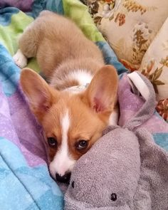 I love my new stingray toy! 🐳🐋🐟🐠🐡🐙🐬 (no stingray emoji lol) Pembroke Welsh Corgi, Corgi Dog, Puppy Eyes, Cute Creatures, Dog Photos, Girls Best Friend, Best Dogs, Animal Pictures, Dog Breeds
