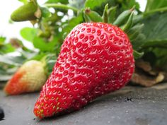 This rich red strawberry is growing in Poteet, Texas. Makes your mouth water, doesn't it?