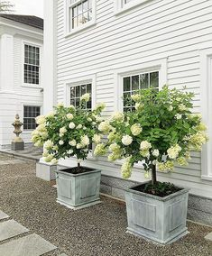 front yard landscaping A little limelight hydrangea topiary beauty for my very sweet mother-in-law who is leaving tomorrow. I love this shot of my dear friend Courtyard Landscaping, Hydrangea Landscaping, Small Front Yard Landscaping, Front Yard Design, Hydrangea Garden, Landscaping Ideas, Hydrangea Tree, Outdoor Landscaping, Little Lime Hydrangea