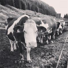 Il mio racconto sentimental-sociologico di #albeinmalga: svegliarsi alle 5 in Val di Fiemme, e mungere le mucche!