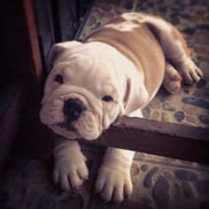 Bulldog...I want a cuddly bulldog. of course I'd probably have one of every dog there is if it was possible. A big 1000 acre stretch of land for homeless animals. Silly I know but that's what I would do if I could.